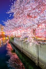 大岡川の桜7