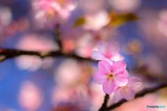 純潔-河津桜-
