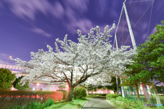 cherry tree at midnightⅡ