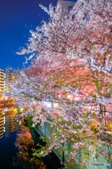 大岡川の桜8