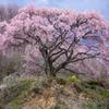 桜 歓喜の舞