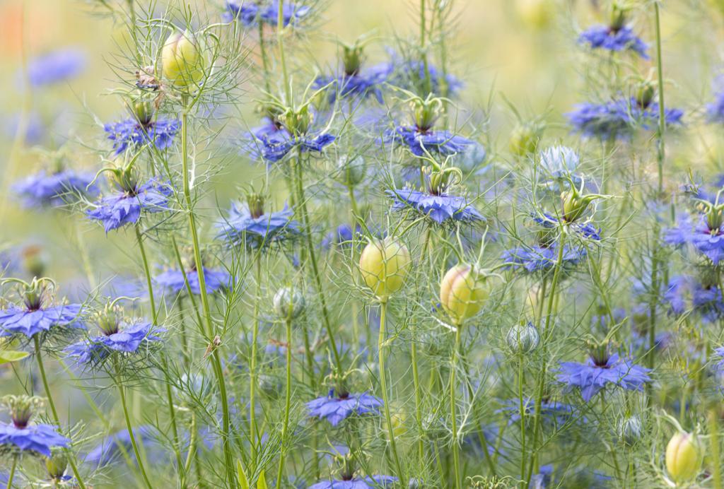ニゲラの花畑 実も素敵