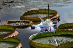 今年も咲いた オオオニバス(パラグアイオニバス)