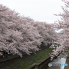 善福寺川沿いの桜(1)