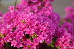 濃いピンクが鮮やか