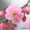 枝垂れ梅(ピンク)