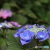 石神井公園に咲く紫陽花3