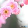 枝垂れ梅(ピンク)2