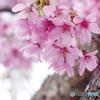 中野通りの桜2