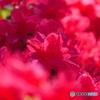 赤い花のつつじ