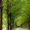 緑のメタセコイア並木道