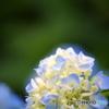 紫陽花 vol.1-3