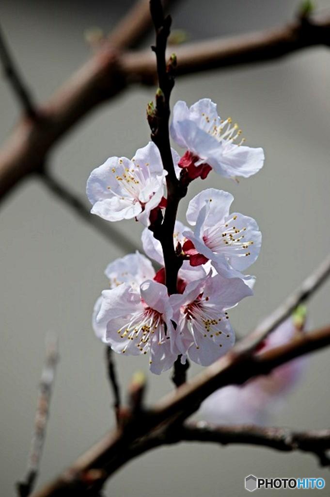 東京日和33(春の花)