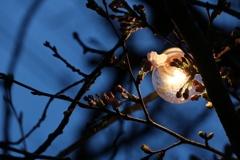 秋月の夜桜
