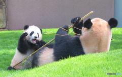 パンダの親子Ⅳ