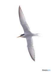 コアジサシの飛翔Ⅱ