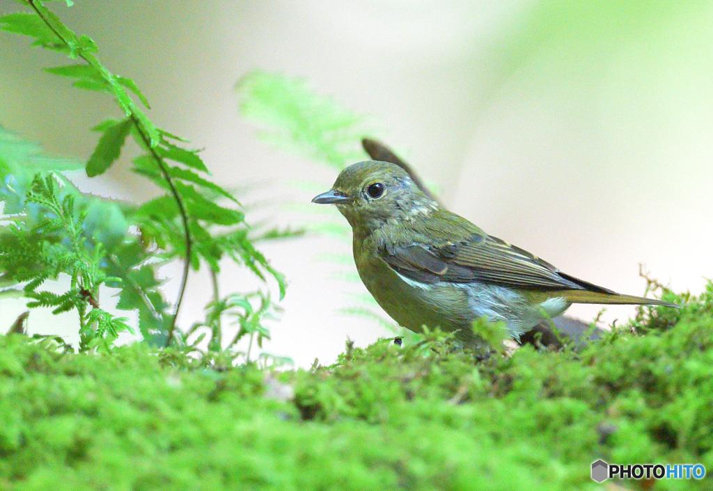 キビタキの幼鳥さん