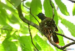 サンコウチョウの巣作り㉓