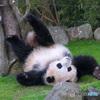 パンダも木から落ちる