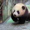 駆け寄る仔パンダ