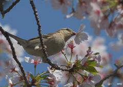 桜ニュウナイスズメ⑧