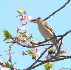 桜にニュウナイスズメ⑩