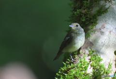 キビタキの幼鳥③