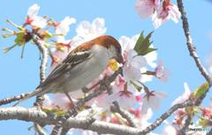 桜にニュウナイスズメ⑨