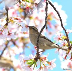 桜にニュウナイスズメ⑪