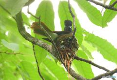 サンコウチョウの巣作り㉒