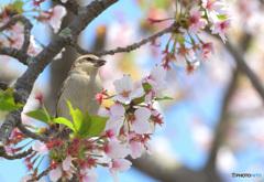 桜にニュウナイスズメ⑫