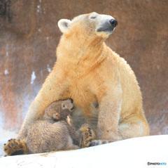 シロクマの母娘⑫