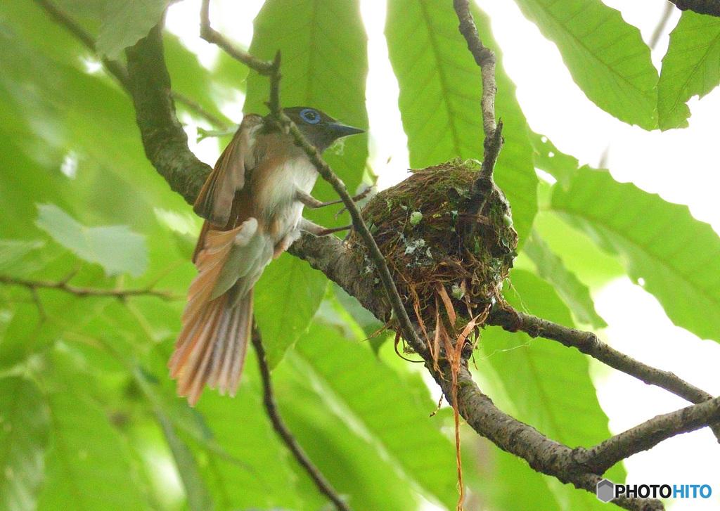 サンコウチョウの巣作り⑲