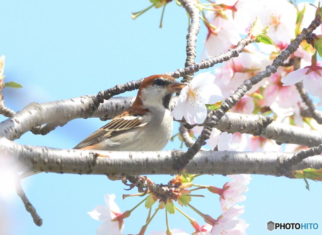 桜にニュウナイスズメ⑤