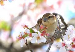 桜にニュウナイスズメ⑦