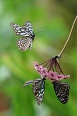 初めての蝶撮り
