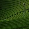 和束の茶畑