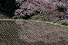 諸木野の桜