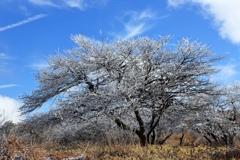銀樹 ~霧氷Ⅴ~