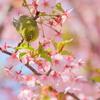 春を告げる鳥たちⅡ