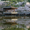 浮見堂 ~鷺池の桜~