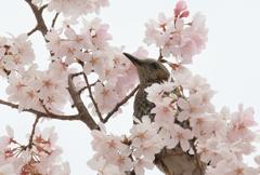 Spring Bulbul Ⅱ