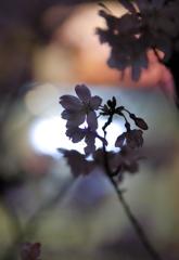 近所の夜桜Ⅱ