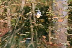 秋鯉 ~モネの池Ⅱ~
