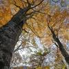 ブナ林に訪れる秋