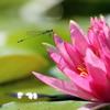 睡蓮の花とアオモンイトトンボ