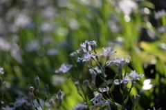 森に咲くシャガ