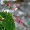 大原散策Ⅰ ~水辺に咲く秋海棠~