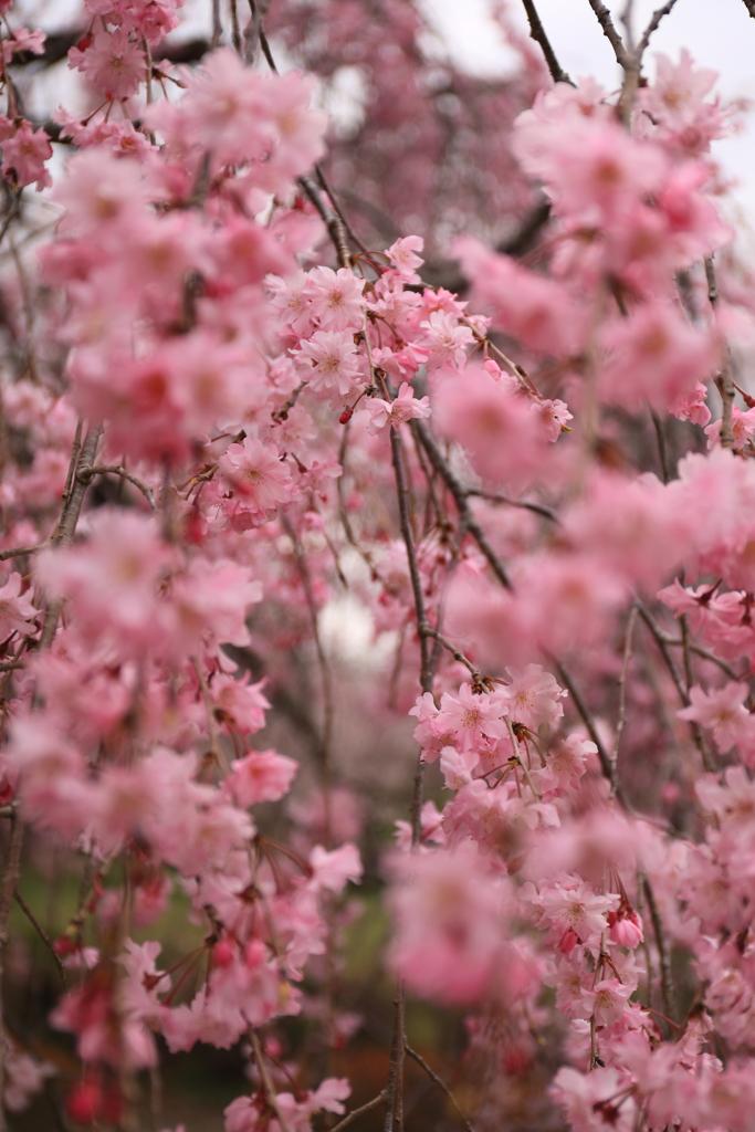 桃色のカーテン