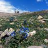チベット高原の青いケシ